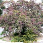 Photo Honey locust, burgundy