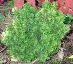 Photo Alberta Spruce, Black Hills Spruce, White Spruce, Canadian Spruce, green