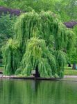 Photo Willow, green