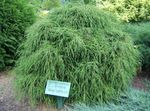 Photo Sawara cypress, Sawara False Cypress, Boulevard Cypress, Blue Moss Cypress, green