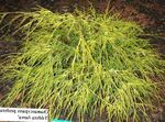 Photo Sawara cypress, Sawara False Cypress, Boulevard Cypress, Blue Moss Cypress, yellow