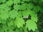 Photo Maple, light green