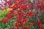 Photo Holly, Black alder, American holly, red