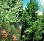 Photo Douglas Fir, Oregon Pine, Red Fir, Yellow Fir, False Spruce, green