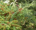 Photo Barberry, Japanese Barberry, green
