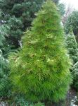 Japanese Umbrella Pine