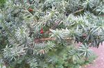 Photo English yew, Canadian Yew, Ground Hemlock, silvery
