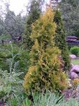 Photo Thuja, yellow