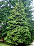 Photo Thuja, dark green