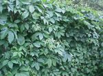 Boston ivy, Virginia Creeper, Woodbine