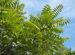 Tree of Heaven, Chinese Sumac, Stink Tree