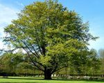 Photo Common Beech, European Beech, green