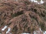 Photo Siberian Carpet Cypress, green