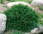 Photo Birdsnest spruce, Norway Spruce, green