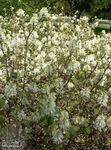 Photo Witch alder, Fothergilla, white