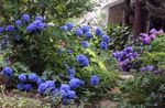 Photo Common hydrangea, Bigleaf Hydrangea, French Hydrangea, dark blue