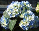 Photo Common hydrangea, Bigleaf Hydrangea, French Hydrangea, light blue