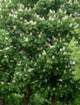 Photo Horse Chestnut, Conker Tree, white