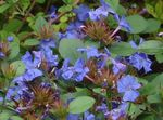 Photo Leadwort, Hardy Blue Plumbago, dark blue