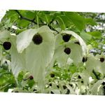 Dove tree, Ghost tree, Handkerchief tree