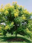 Golden Rain Tree, Panicled Goldenraintree