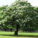 Photo Southern catalpa, Catawba, Indian bean tree, white