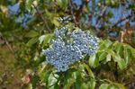 Photo Common elder, Red-berried elder, light blue