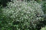 Photo Waxflower, white