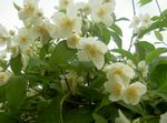 Photo Mock orange, white
