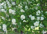 Photo Shadbush, Snowy mespilus, white
