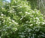European Cranberry Viburnum, European Snowball Bush, Guelder Rose
