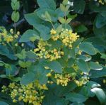 Photo Oregon Grape, Oregon Grape Holly, Holly-leaved Barberry, yellow