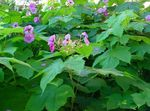 Purple-flowering raspberry, Thimbleberry