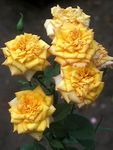 Photo Grandiflora rose, yellow