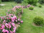 Photo Rose Ground Cover, pink