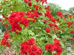 Photo Rose Ground Cover, red