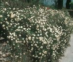 Photo Rose Ground Cover, white