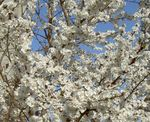 Prunus, Pruimenboom