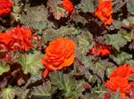 Photo Wax Begonia, Tuberous Begonia, orange
