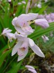 Photo Ground Orchid, The Striped Bletilla, white