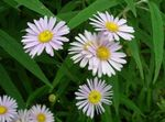 Photo Bolton's Aster, White Doll's Daisy, False Aster, False Chamomile, pink