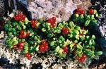 Lingonberry, Mountain Cranberry, Cowberry, Foxberry