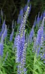 Photo Longleaf Speedwell, light blue