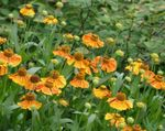 Photo Sneezeweed, Helen's Flower, Dogtooth Daisy, orange