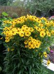 Photo Sneezeweed, Helen's Flower, Dogtooth Daisy, yellow