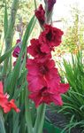 Photo Gladiolus, red