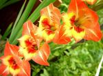 Photo Gladiolus, orange