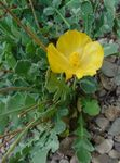 Photo Sea Poppy, Horned Poppy, yellow