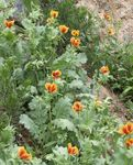 Photo Sea Poppy, Horned Poppy, orange