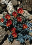 Photo Sea Poppy, Horned Poppy, red